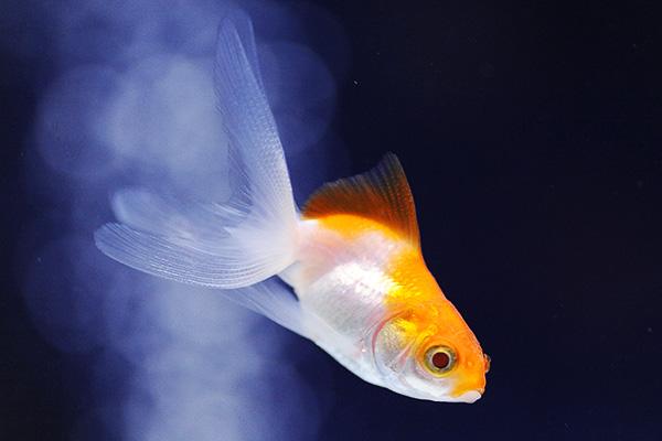 金魚/更紗(白更紗)