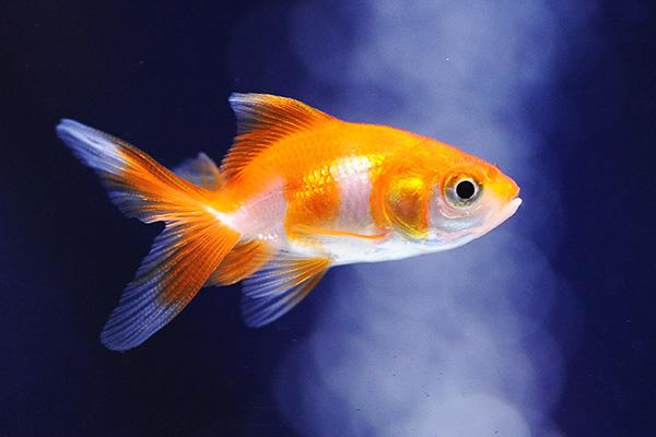 金魚/更紗(赤更紗)