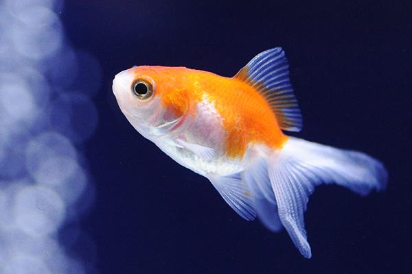 金魚/更紗