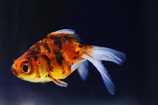 金魚/キャリコ