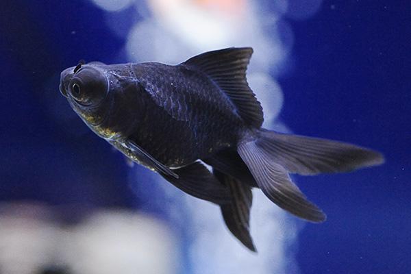 金魚/出目金