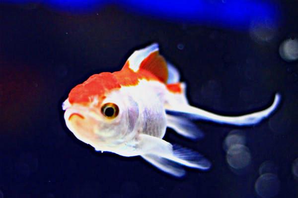 金魚/オランダ琉金