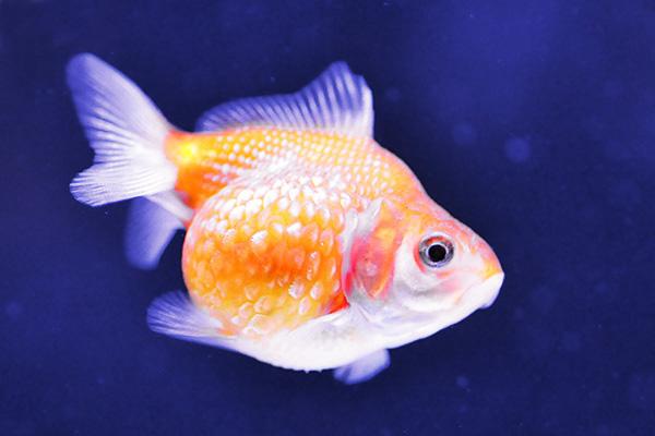 金魚/ピンポンパール