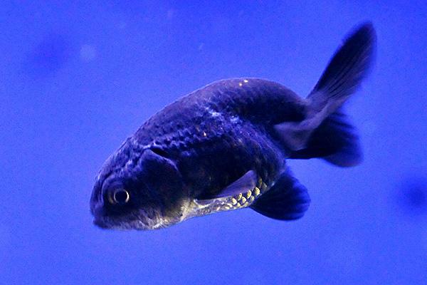 金魚/黒らんちゅう